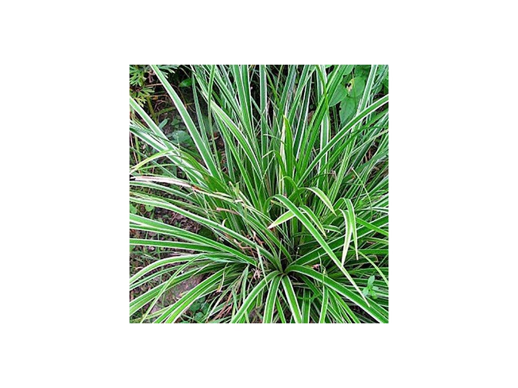 Carex morrowii 'Variegata', ostřice japonská, K1l