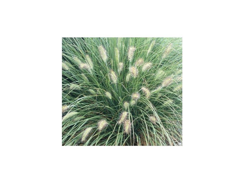 Pennisetum orientale, dochan východní, k2l