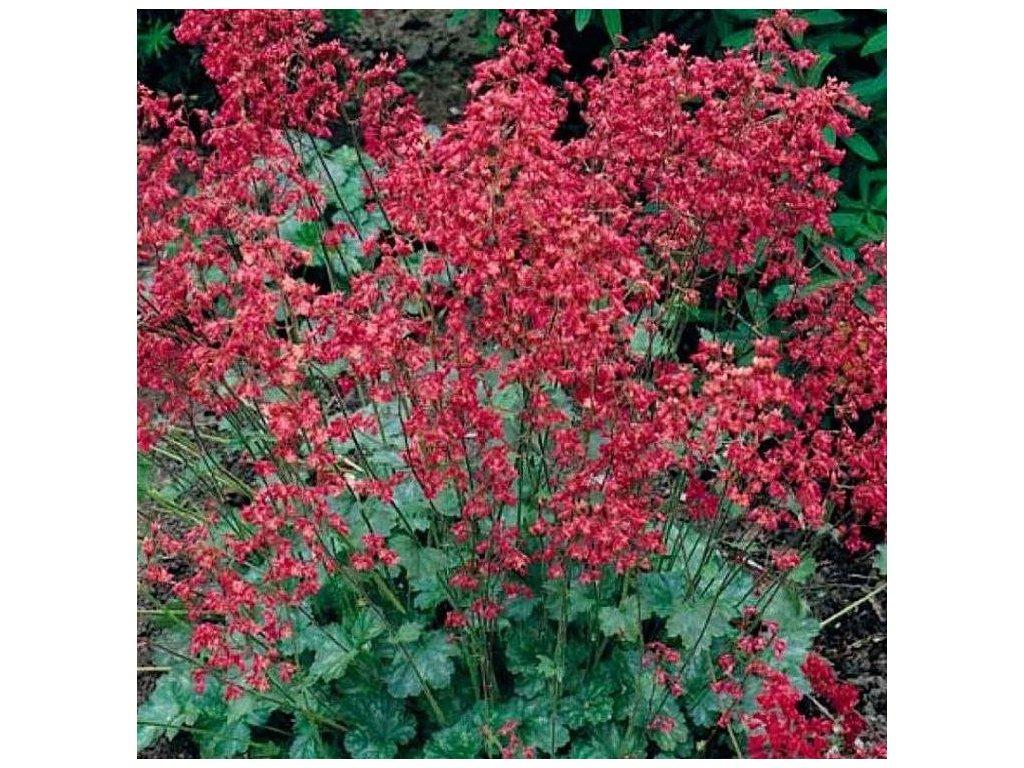 Heuchera sanguinea 'Coral Forest