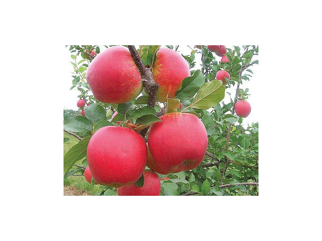 VLTAVA zimní jabloň