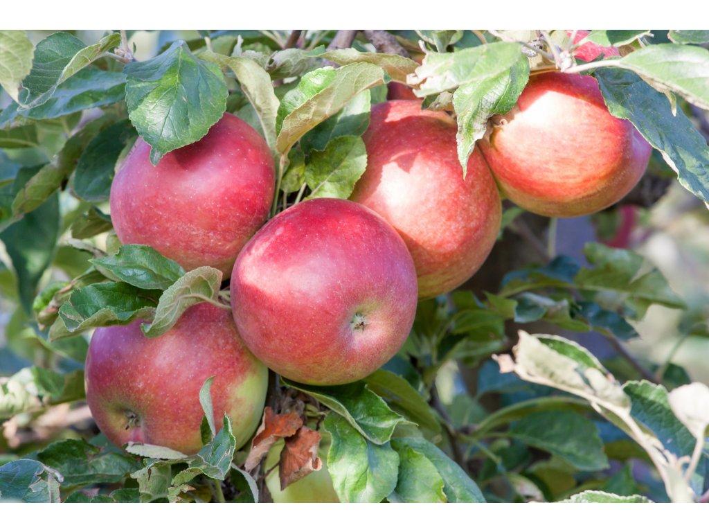 CUMULUS sloupovitá zimní jabloň 1
