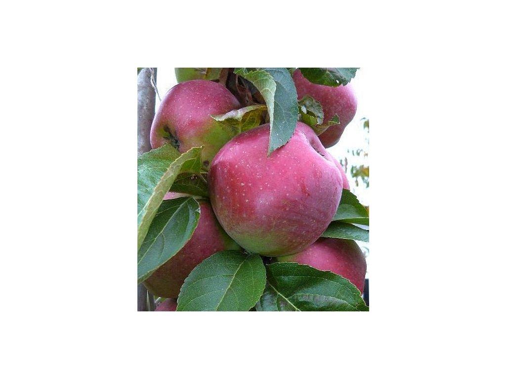 SLENDERA sloupovitá zimní jablon 2