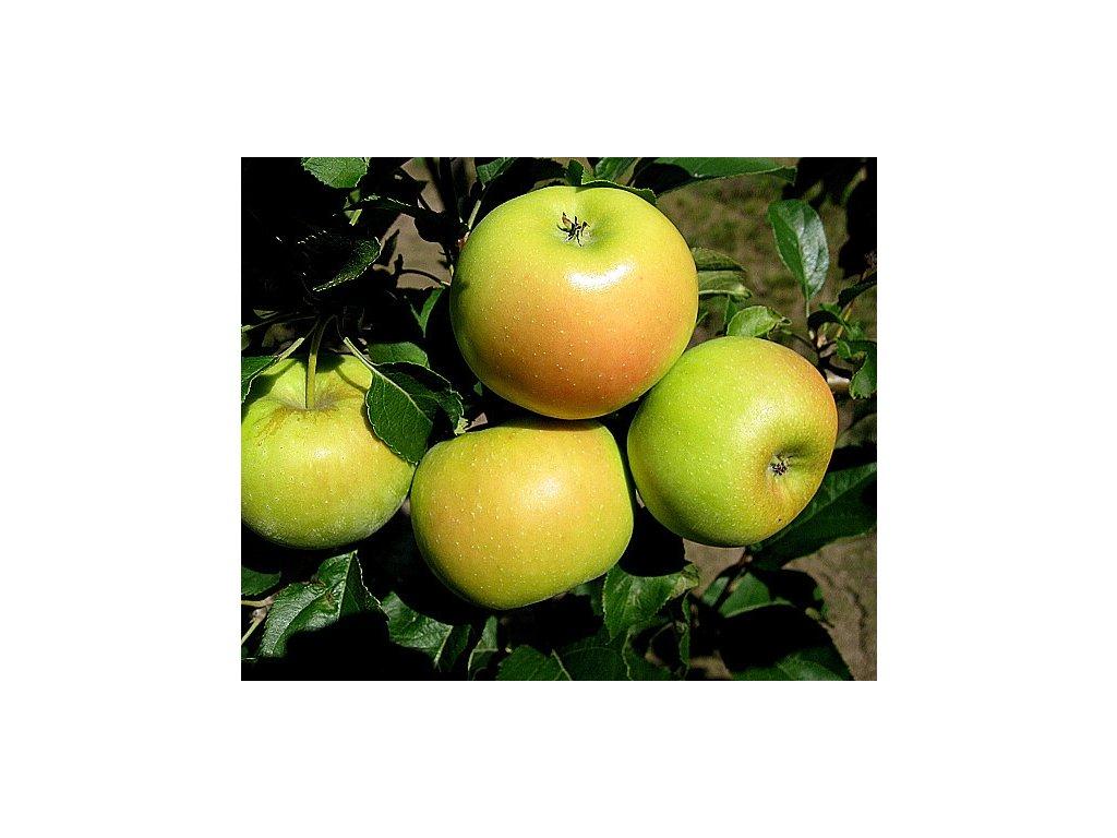 SONET sloupovitá zimní jabloň 2
