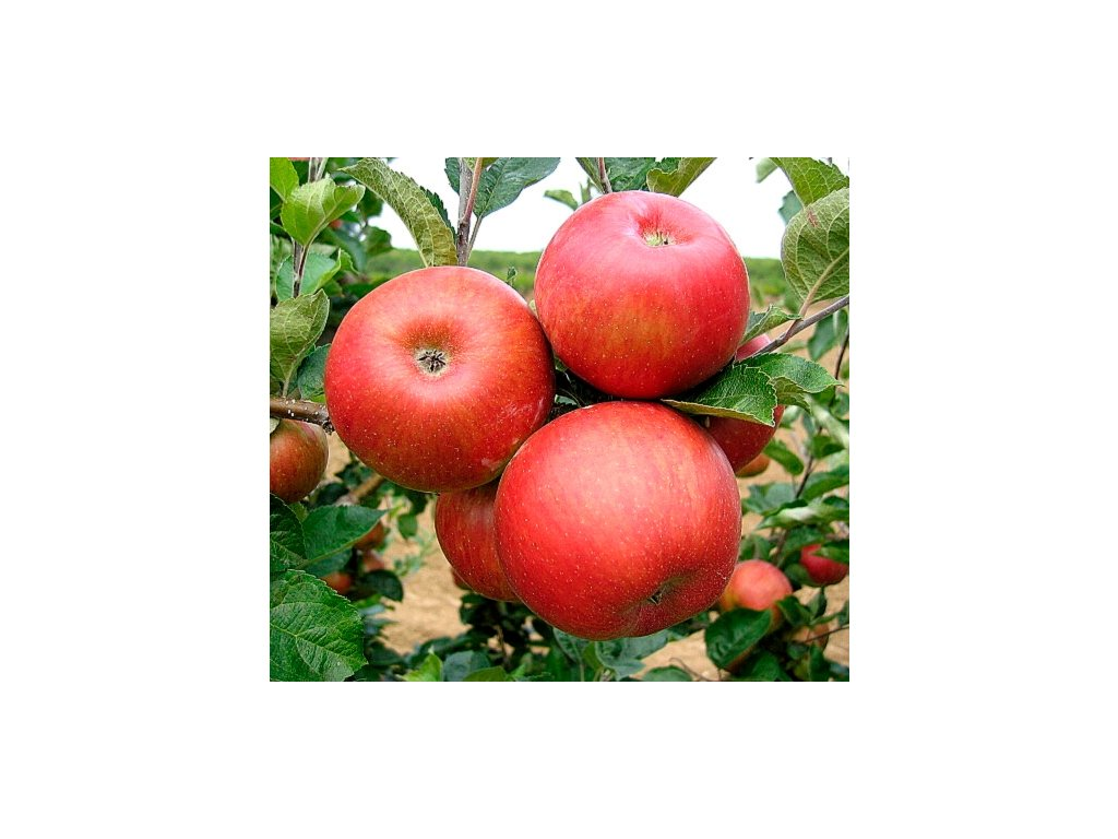 RED BOHEMIA zimní jabloň