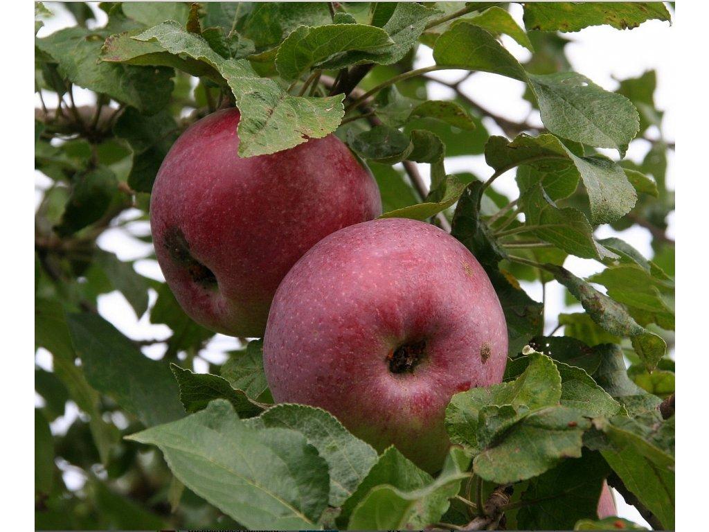 MALINOVÉ HORNOKRAJSKÉ zimní jabloň