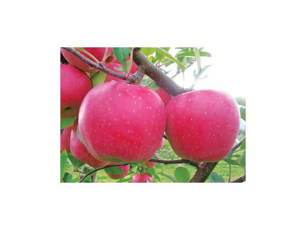 BLANÍK zimní jabloň