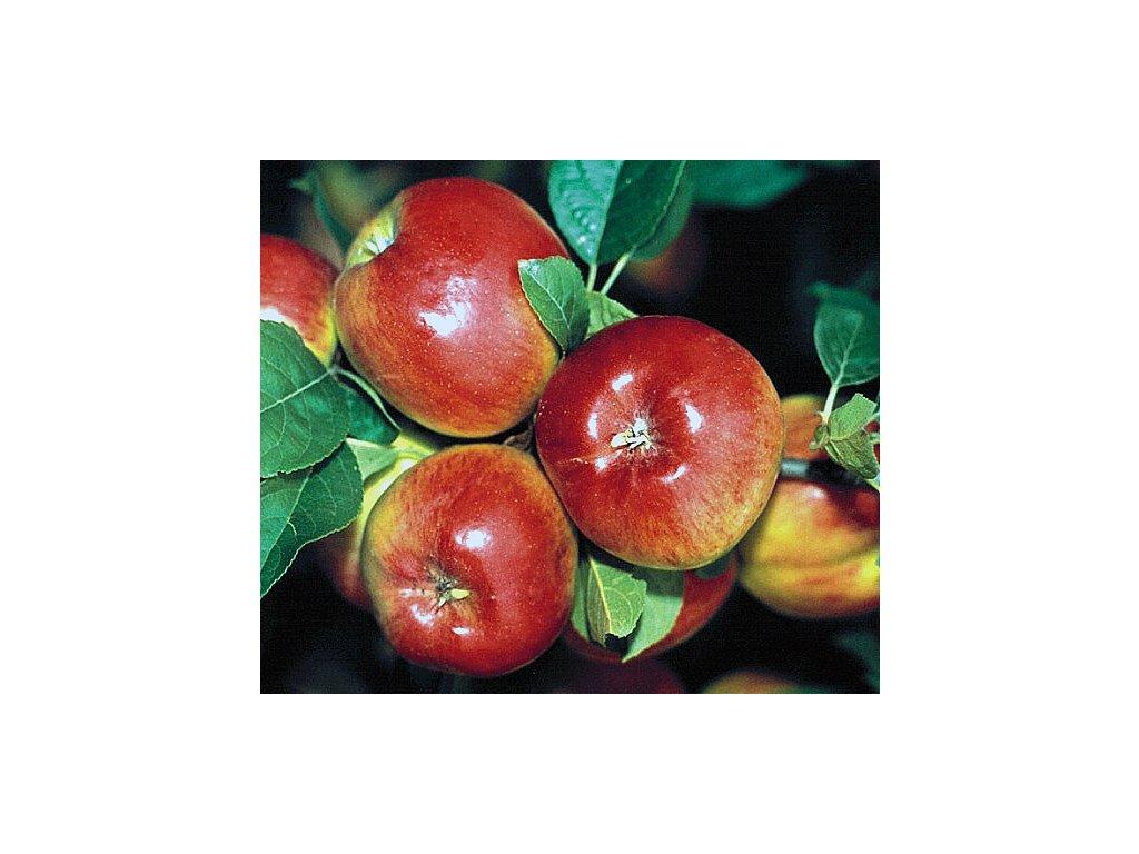 PRIMA podzimní jabloň