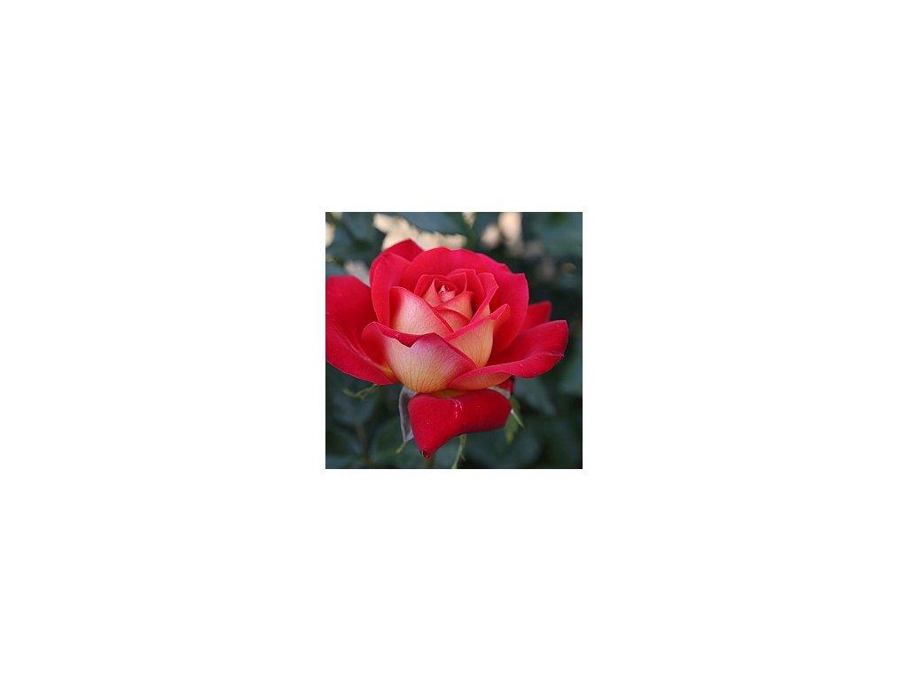 MILRED velkokvětá růže