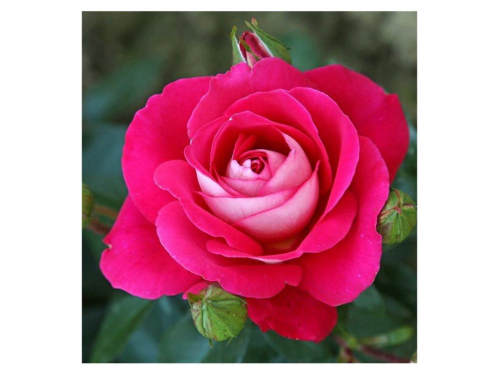 GAVOTTE velkokvětá růže