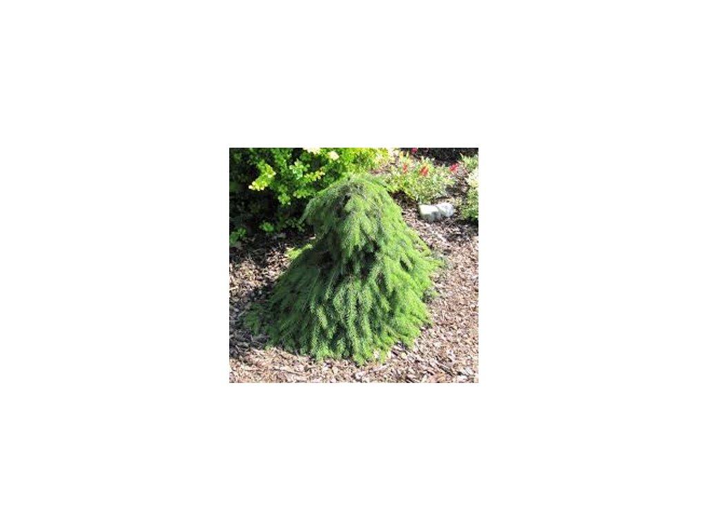 Picea abies Formanek