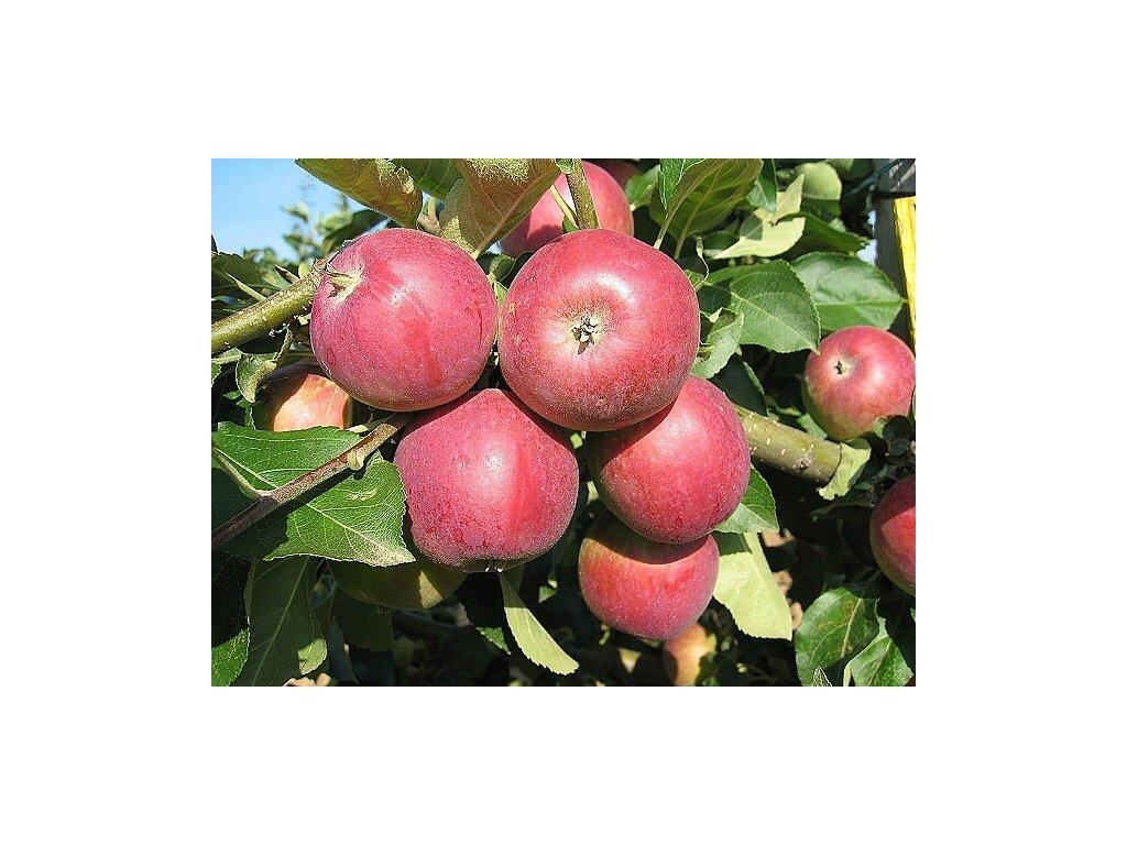 Zita letní jabloň 1