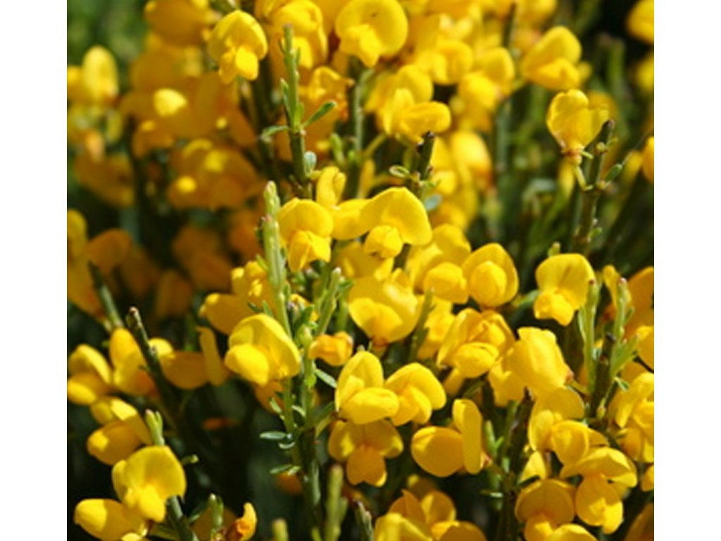 CYTISUS GOLDEN CASCADE květ