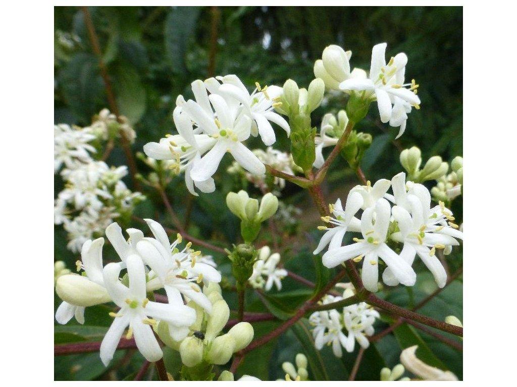 heptac květ