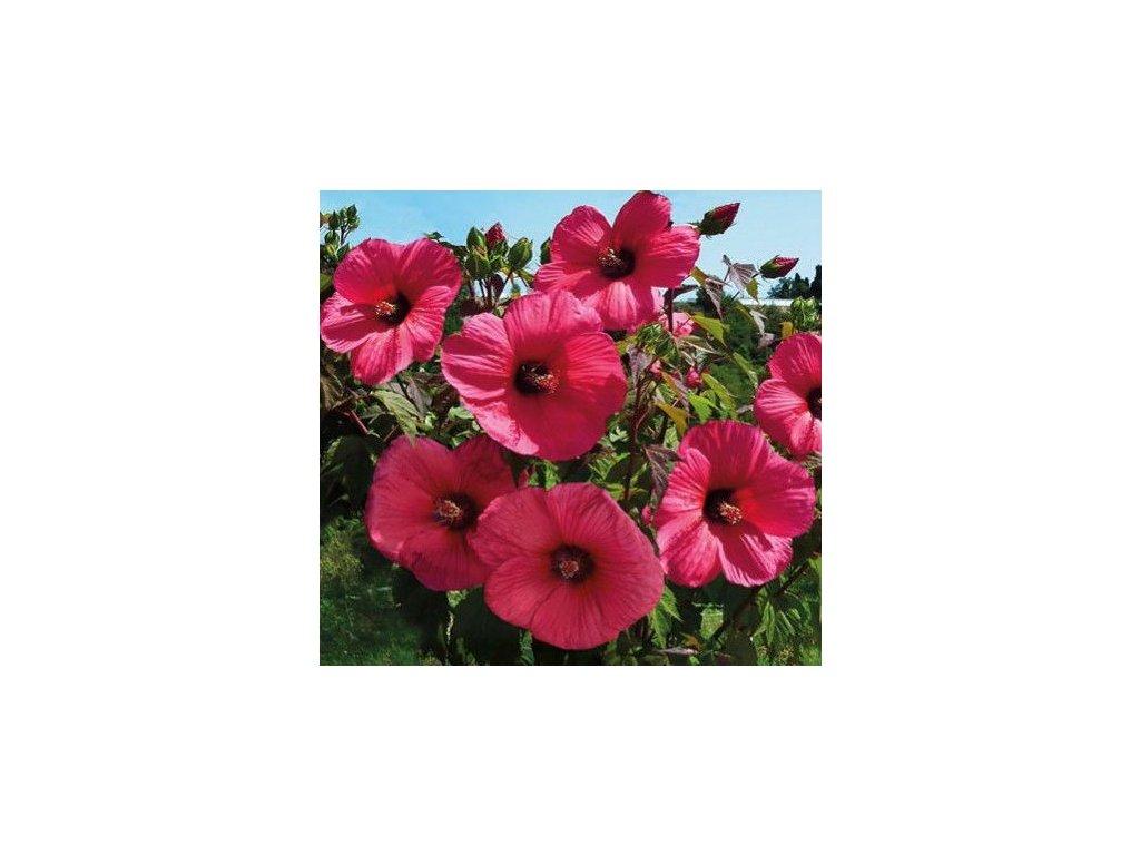 hibiscus mosch
