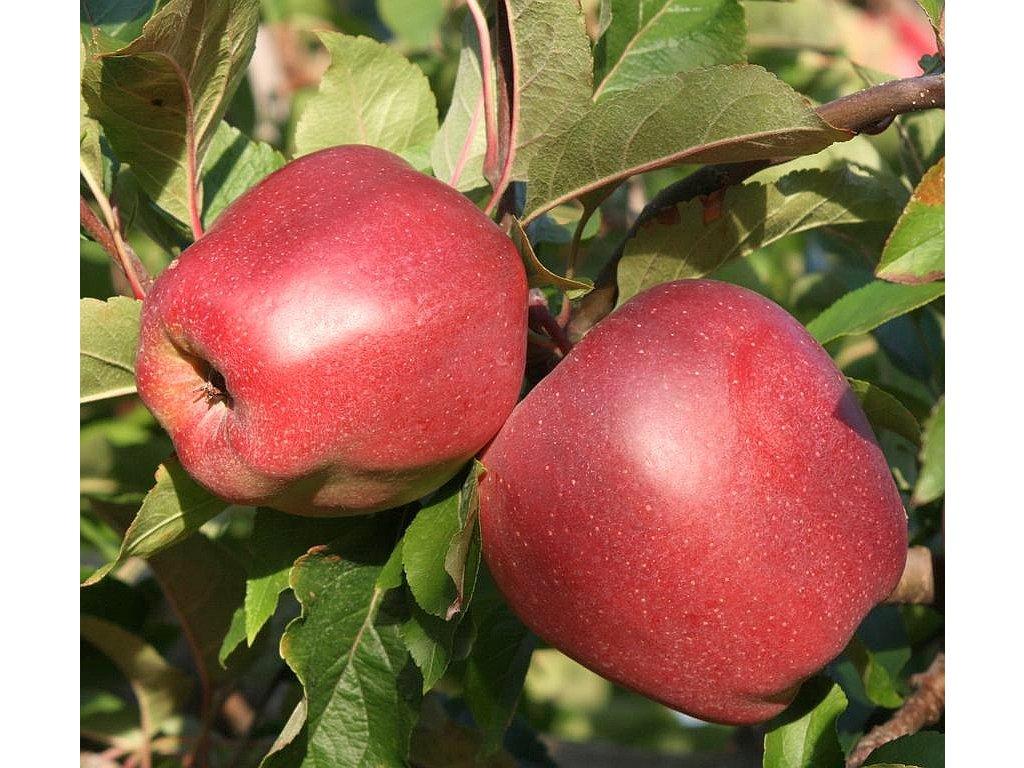 GLOSTER zimní jabloň