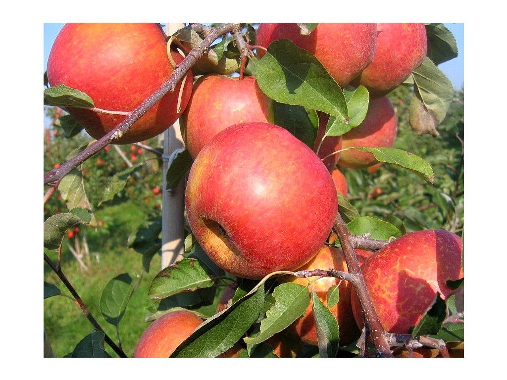 RUBÍN zimní jabloň 3