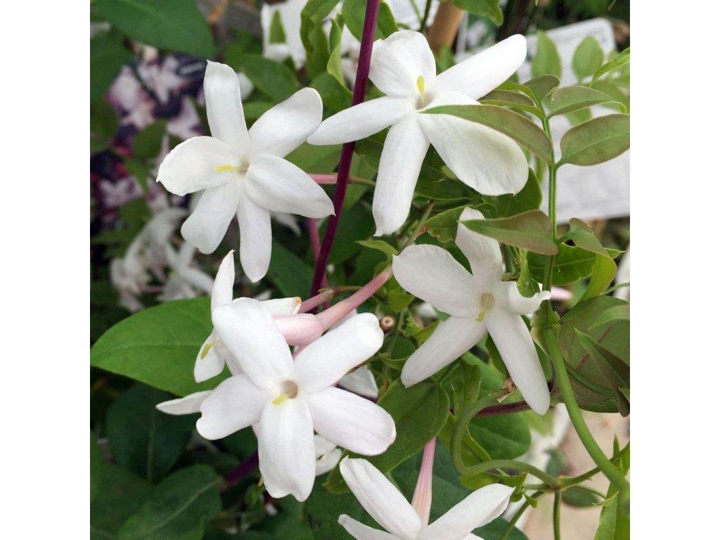 jasminum officinale květ