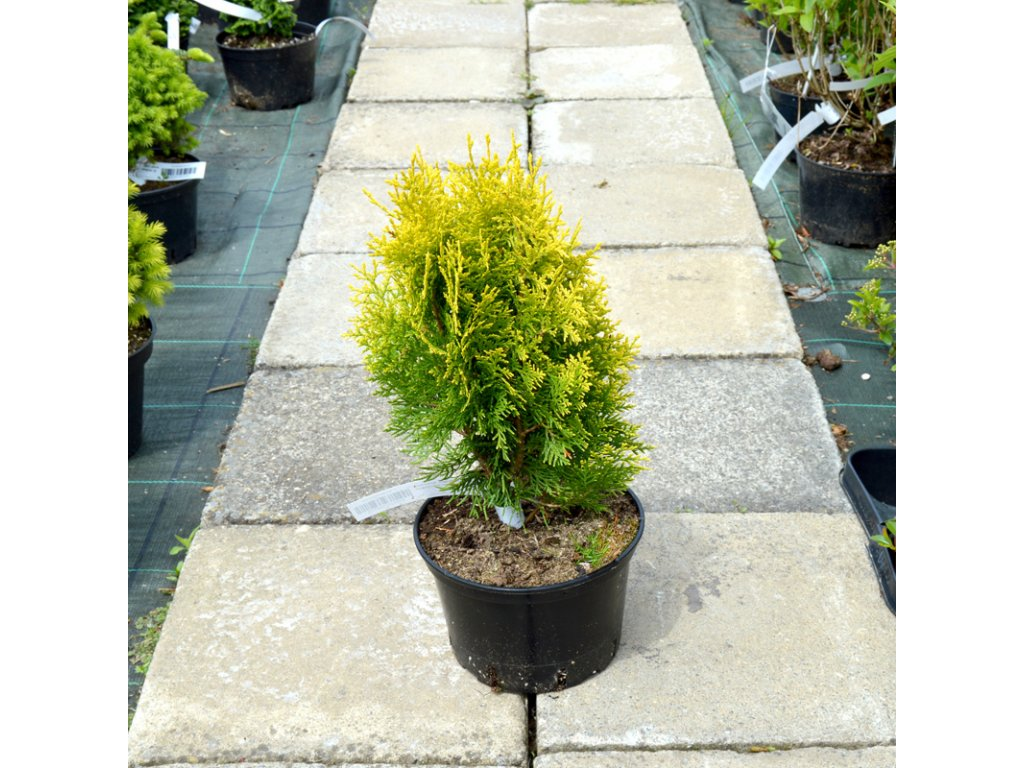 thuja platycladus orientalis aurea nana