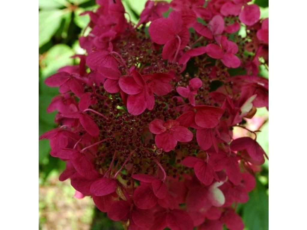 Hydrangea paniculata 'Wim's Red', hortenzie latnatá, výška 25-35cm, kontejner
