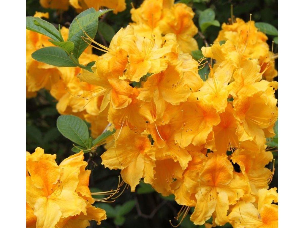 laubabwerfende azalee goldpracht květ