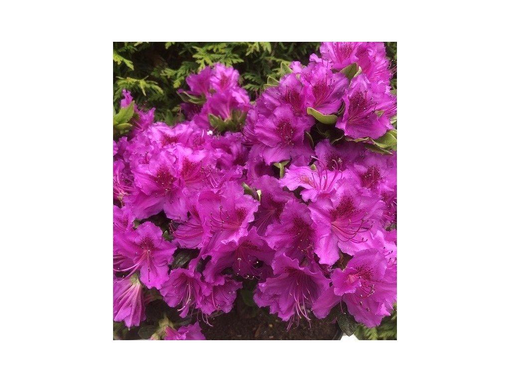 azalea konigstein purple