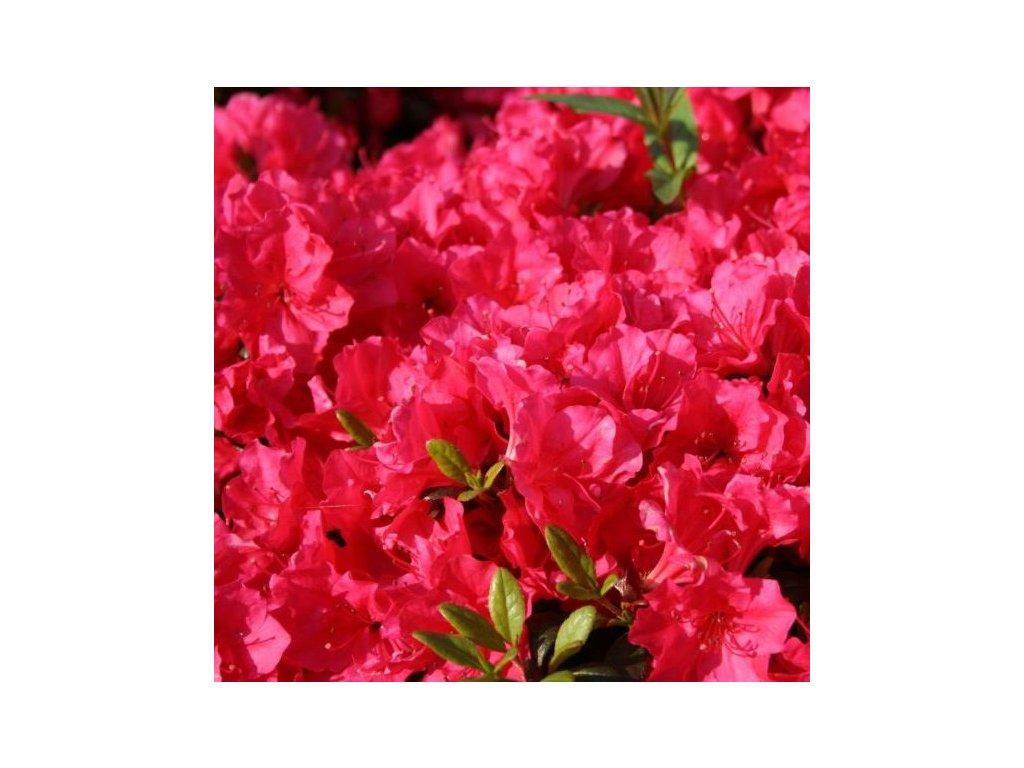 Azalea japonica canzonetta2 e1582019490488