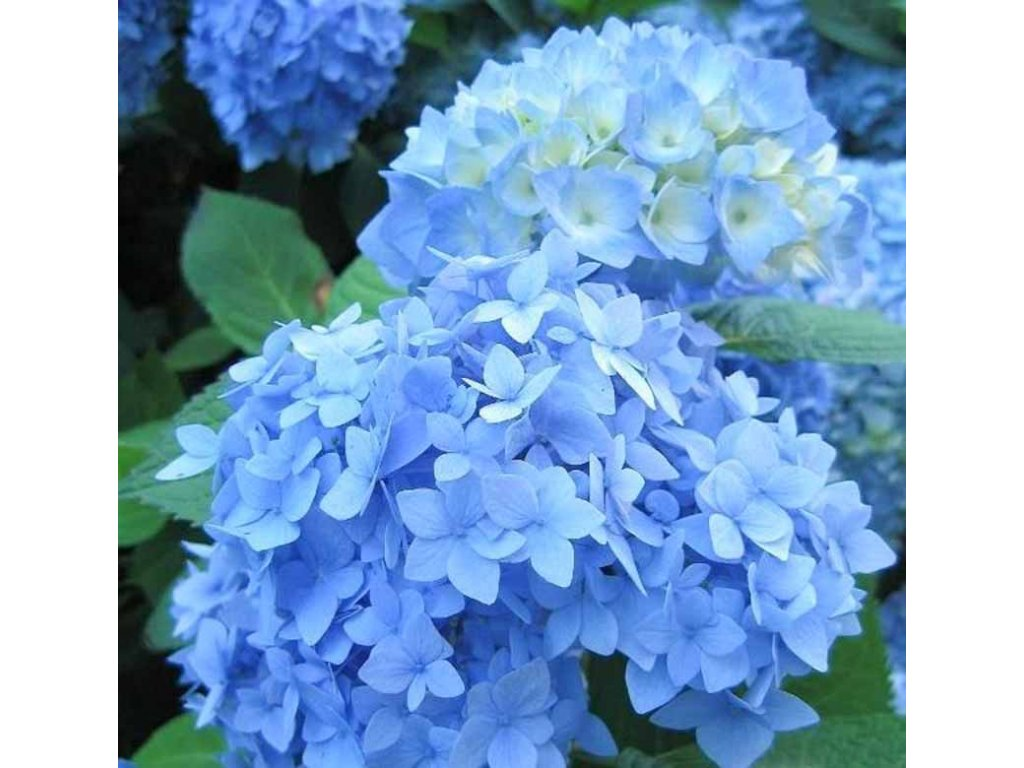 Hydrangea macrophylla 'Nikko Blue' Optimized