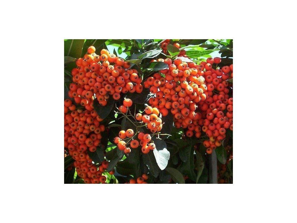 Pyracatnta orange 2