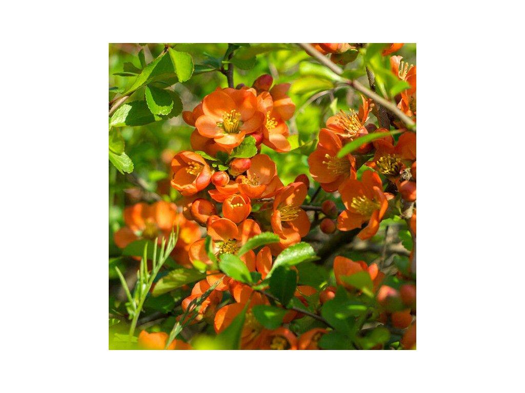 Chaenomeles superba Orange Trail 1