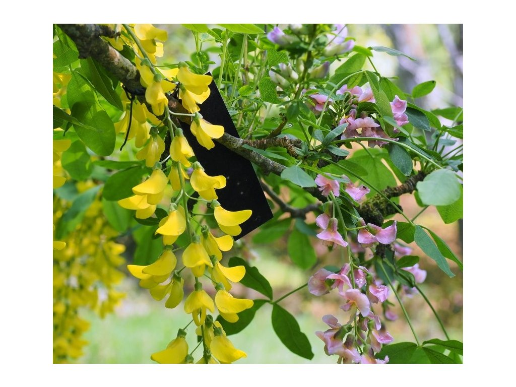 Laburnum x watereri Vossii Golden Chain Tree3