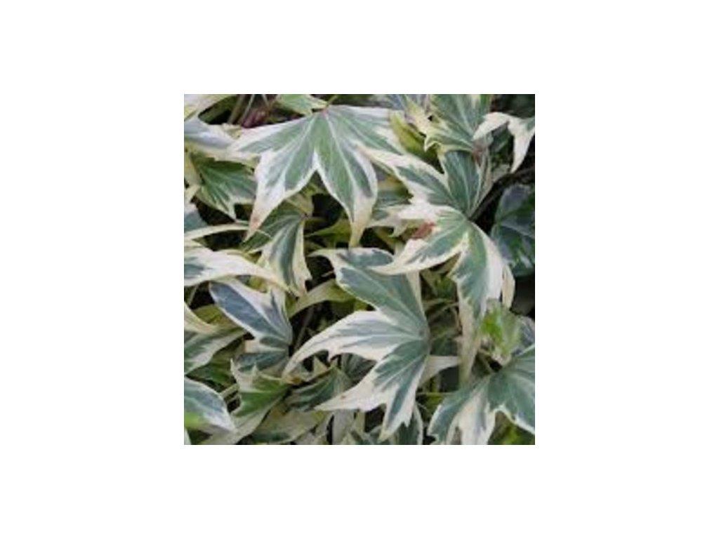 white ripple ivy