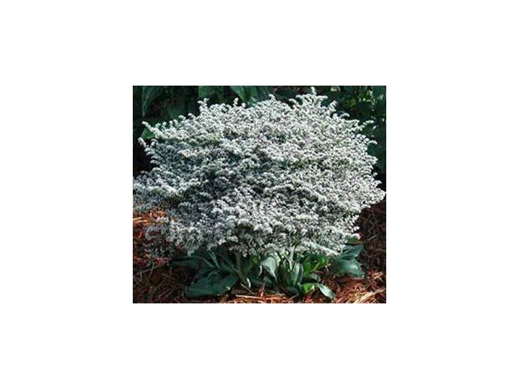 sedum acre yellow queen