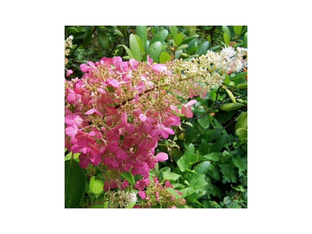 Hydrangea paniculata 'Pink Lady', hortenzie latnatá, výška 30-40cm, kontejner