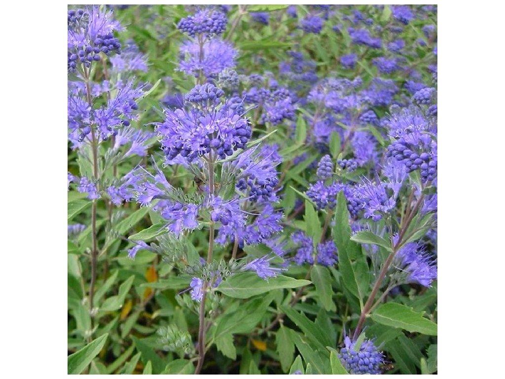 caryopteris heavenly blue