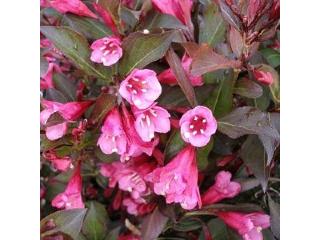 weigela florida alexandra květ ano