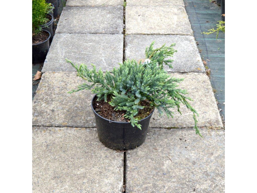 juniperus squamata blue carpet 02
