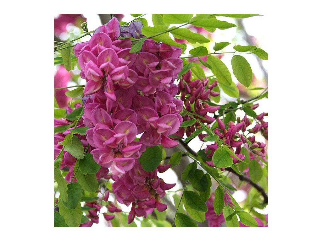 ano caskade květ