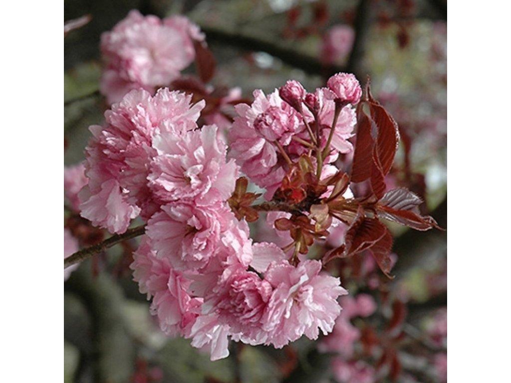 prunus serrulata royal burgund květ