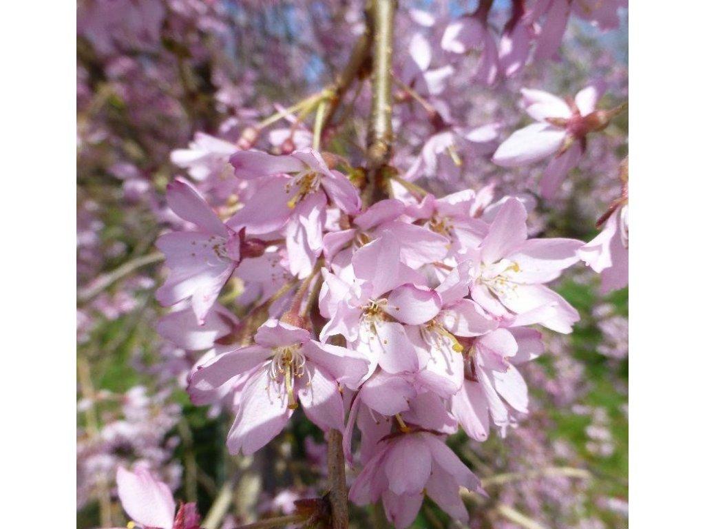 pendula květ rubra