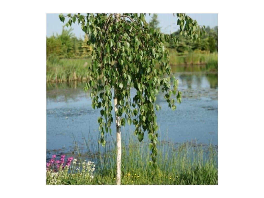 betula utilis long trunk tree p804 2138 medium