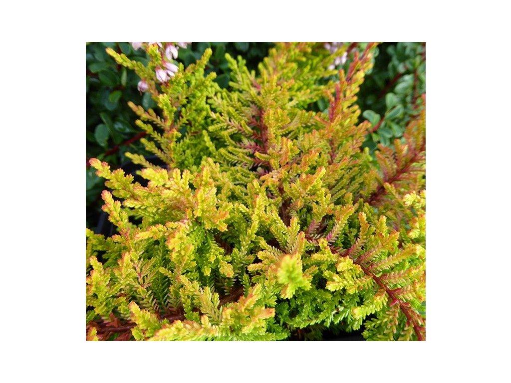 calluna vulgaris robert chapman 1