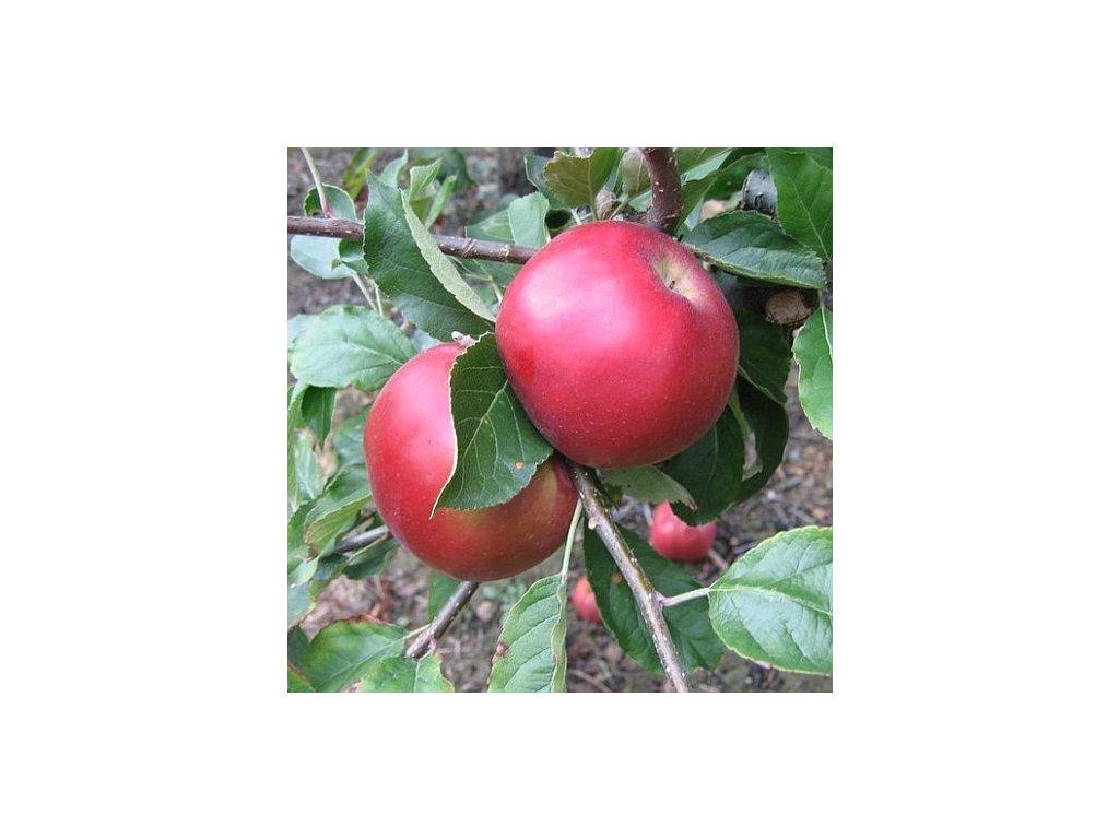 IDARED zimní jabloň