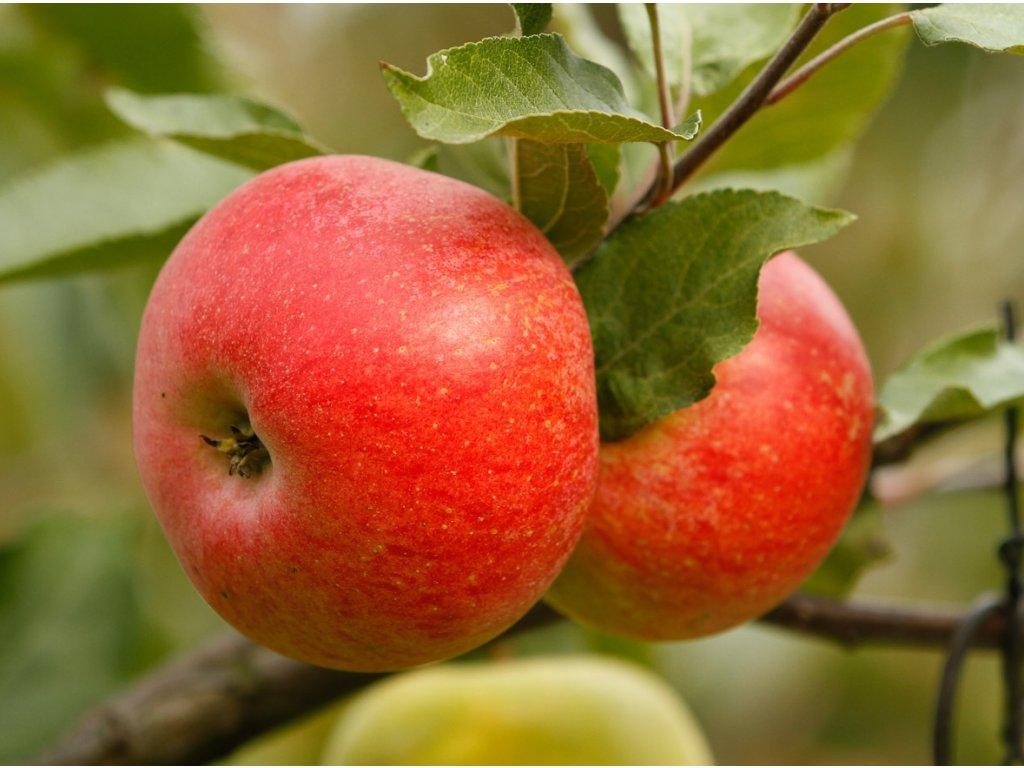 POHODA zimní jabloň 1