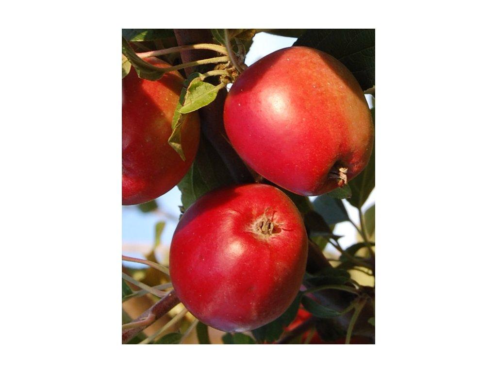 PANENSKÉ ČESKÉ zimní jabloň 2