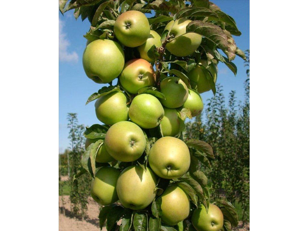 BOLERO sloupovitá podzimní jabloň