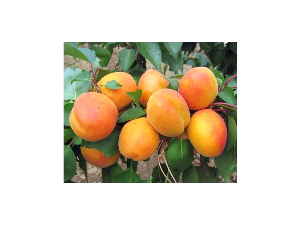 RADKA velmi raná meruňka 1