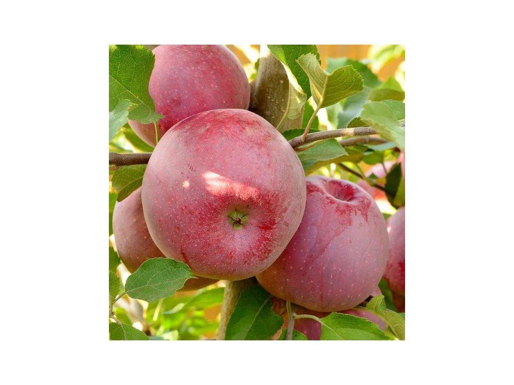 FLORINA zimní jabloň