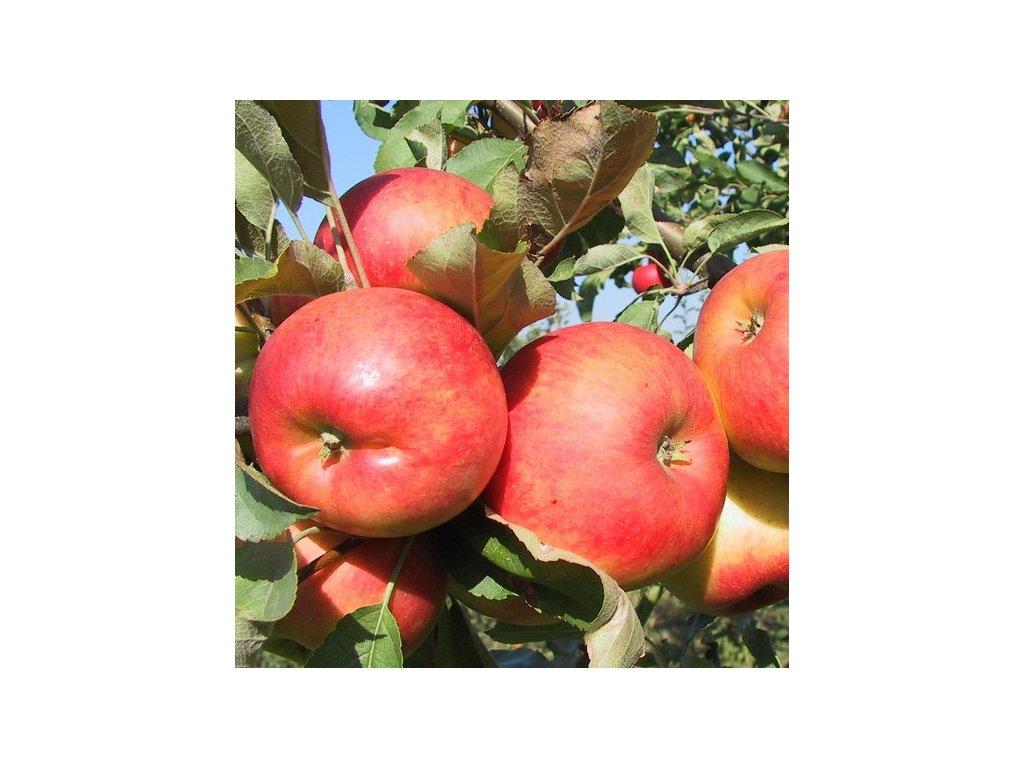 ELSTAR raně zimní jabloň, podnož M7, zákrsek, prostokořenná sazenice