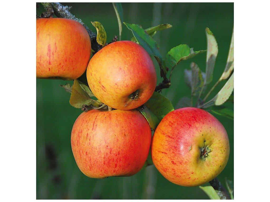 PARMÉNA ZLATÁ zimní jabloň