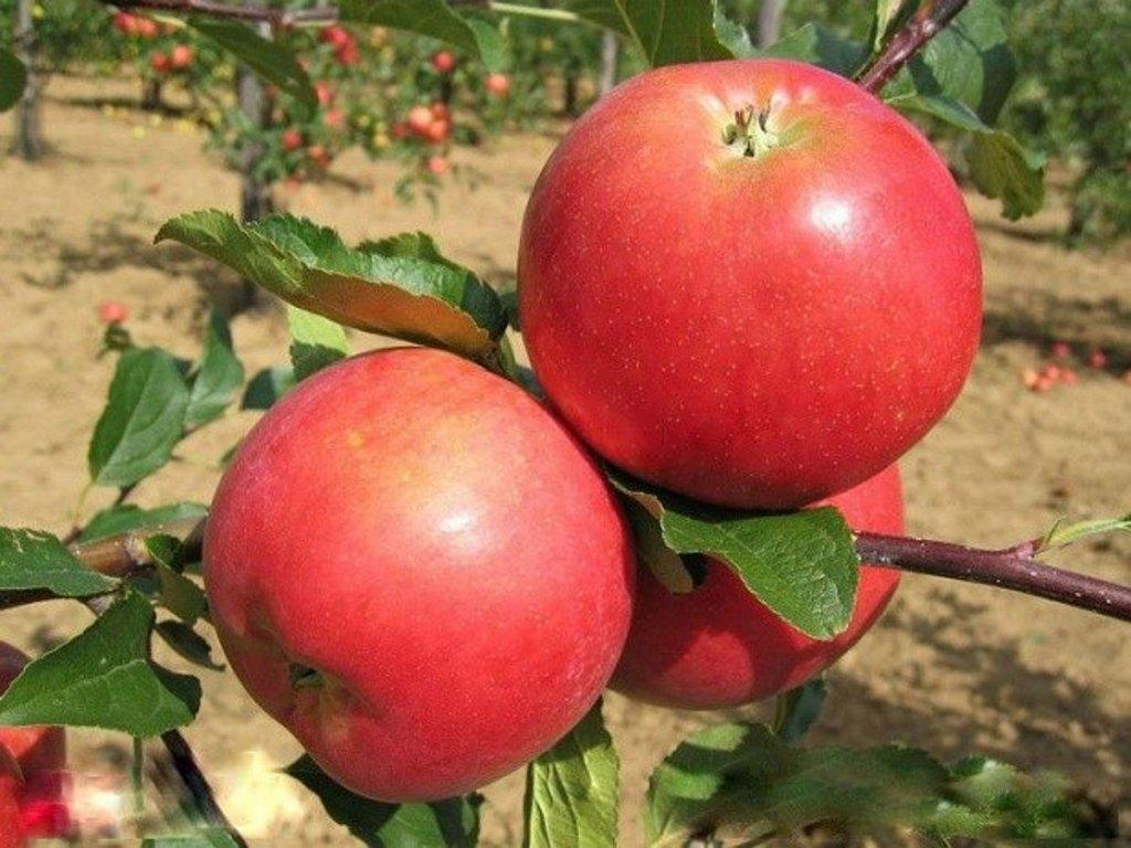 Rubinola zimní jablon 2